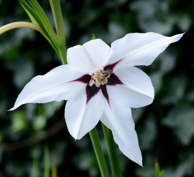 6 Abbessijnse gladiool